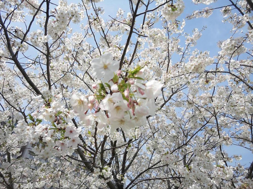 小松川千本桜10