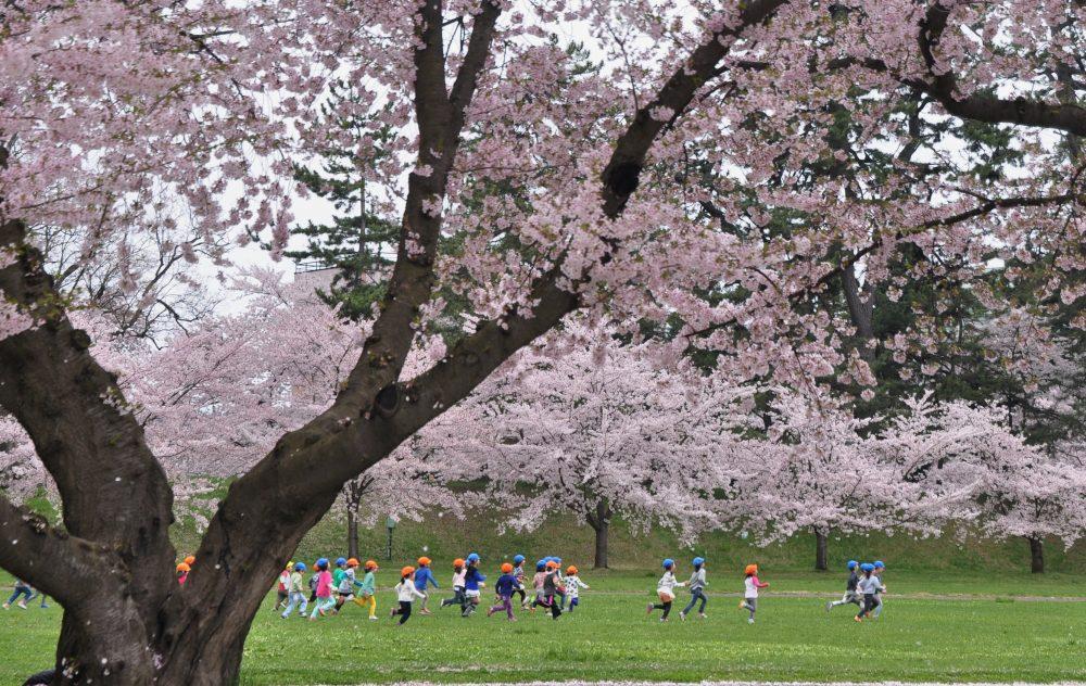 満開の弘前公園にて。園児たちものびのびとかけっこをしていました。