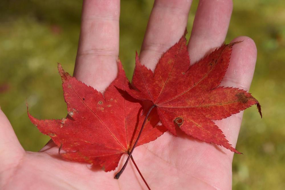落ち葉を拾いました。しおれないように、すぐに本などに挟んでおきましょう