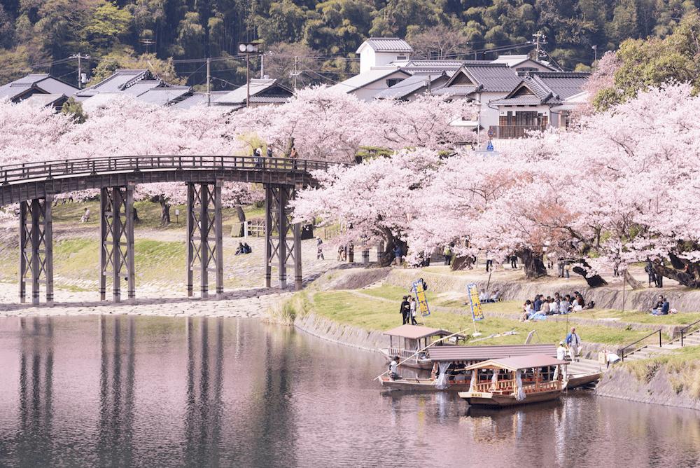 pickup-sakura_吉野公園