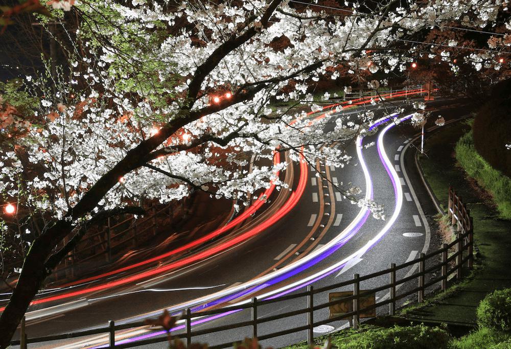 pickup-sakura_菊池公園