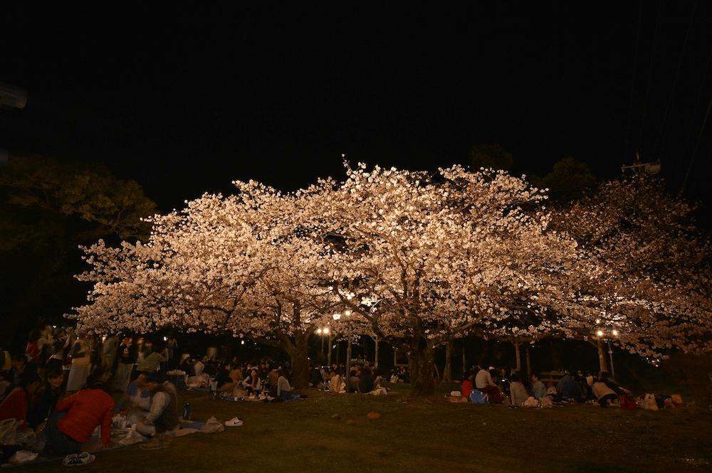 pickup-sakura_大村公園