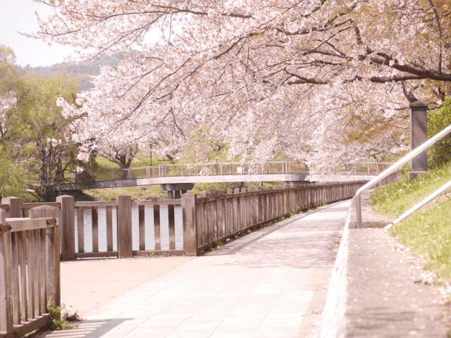 pickup-sakura_酒津公園