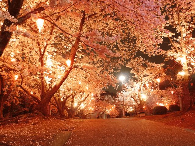 pickup-sakura_早島公園