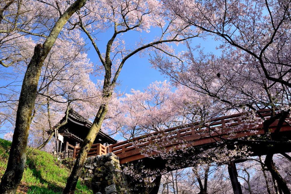 pickup-sakura_高遠城址公園