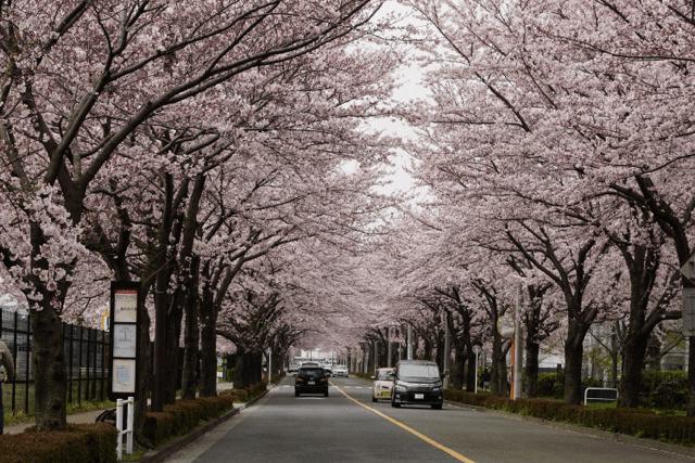 pickup-sakura_武蔵野の森公園