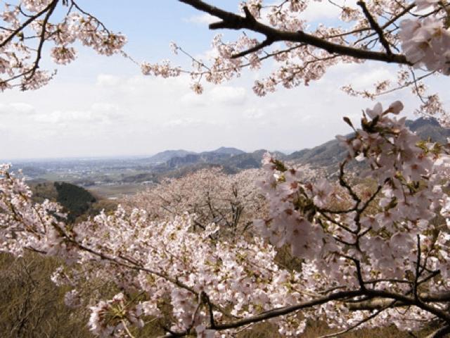 pickup-sakura_太平山県立自然公園