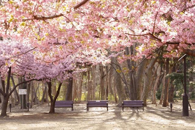 pickup-sakura_林試の森公園