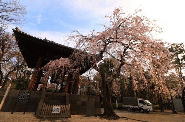 pickup-sakura_芝公園