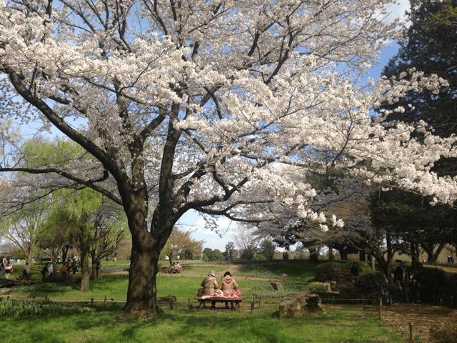 pickup-sakura_国営昭和記念公園