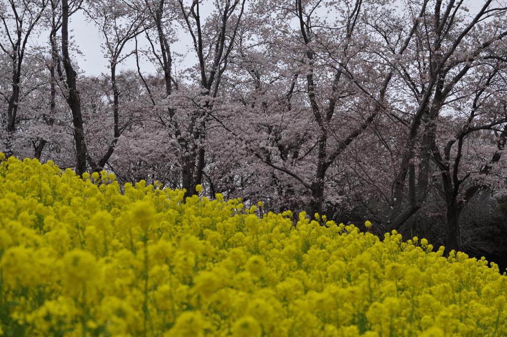 pickup-sakura_根岸森林公園