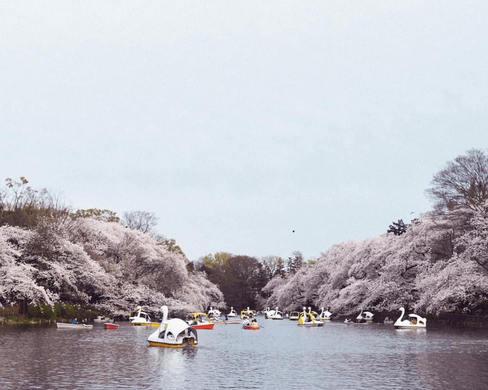 pickup-sakura_井の頭恩賜公園