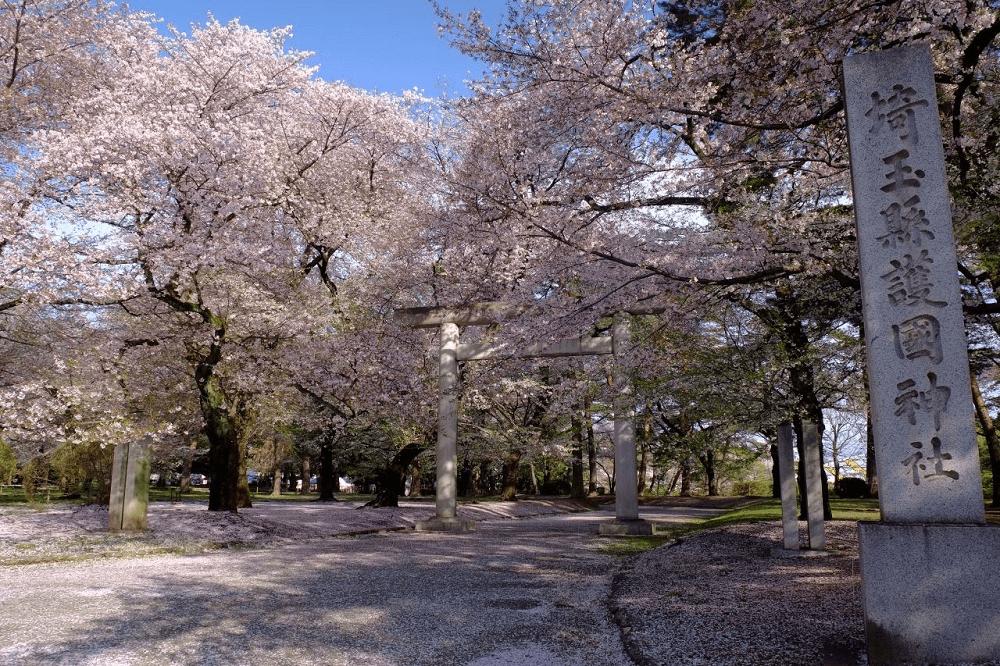 pickup-sakura_大宮公園