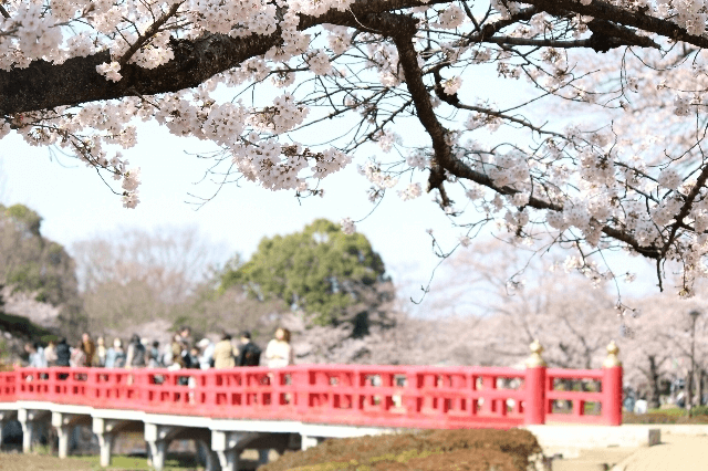 pickup-sakura_岩槻城址公園