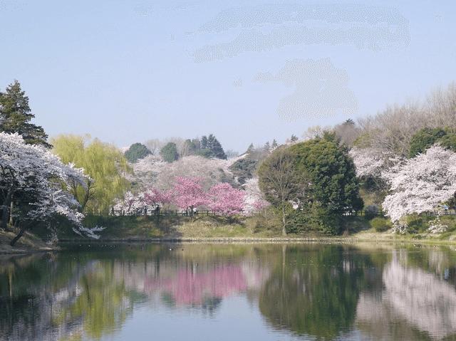pickup-sakura_三ツ池公園