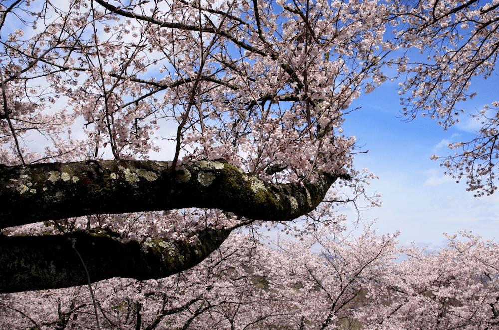 pickup-sakura_大法師公園