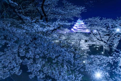 pickup-sakura_鶴ヶ城公園