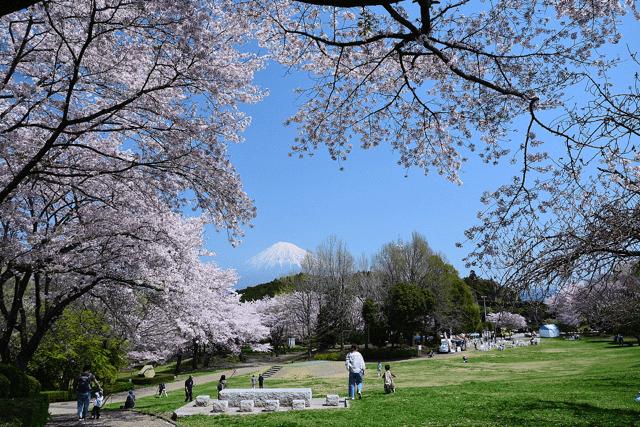 pickup-sakura_岩本山公園
