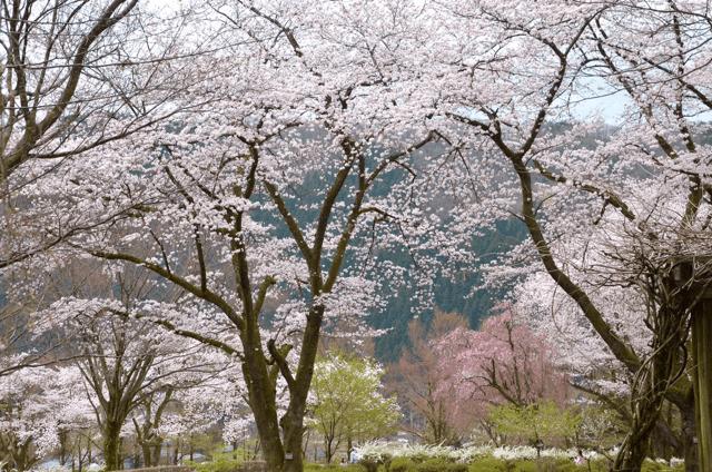 pickup-sakura_樹木公園