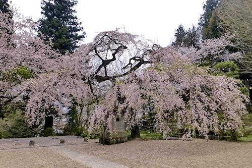 pickup-sakura_霞ヶ城公園
