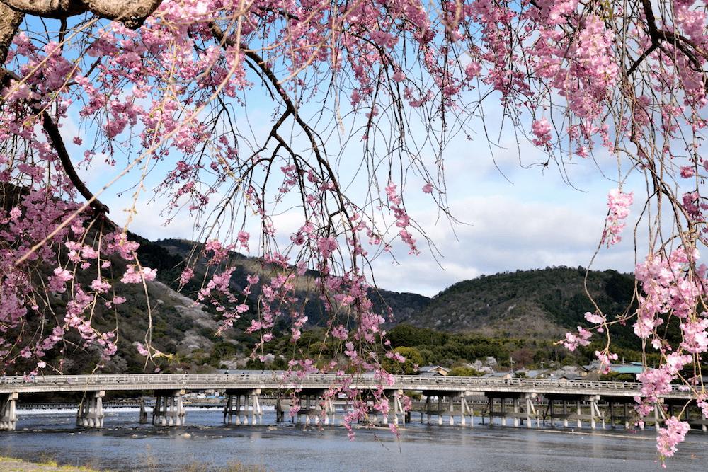 pickup-sakura_嵐山公園