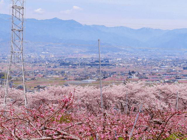 pickup-sakura_八代町ふるさと公園