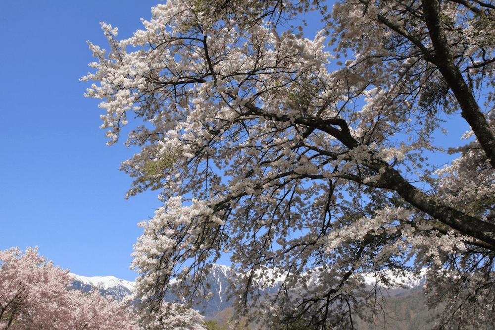 pickup-sakura_千人塚公園