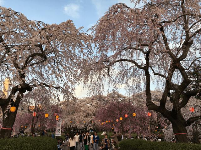 pickup-sakura_榴岡公園