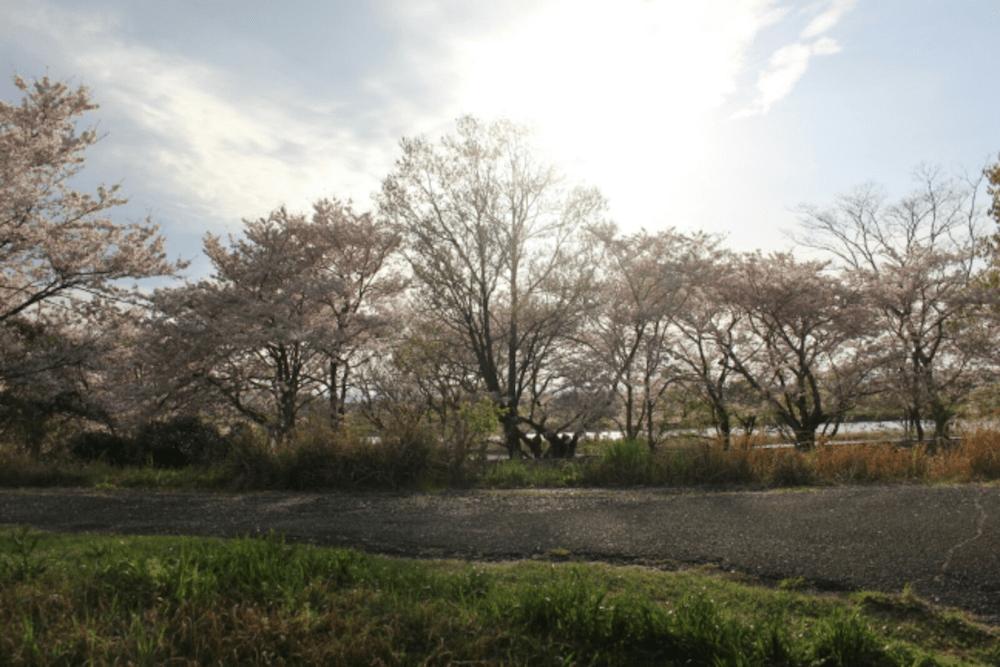 pickup-sakura_宮川堤公園