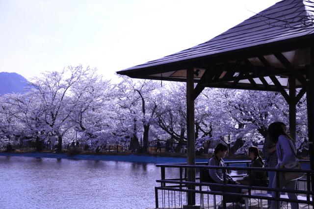 pickup-sakura_臥竜公園